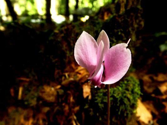 ...petalo rosa di montagna...
