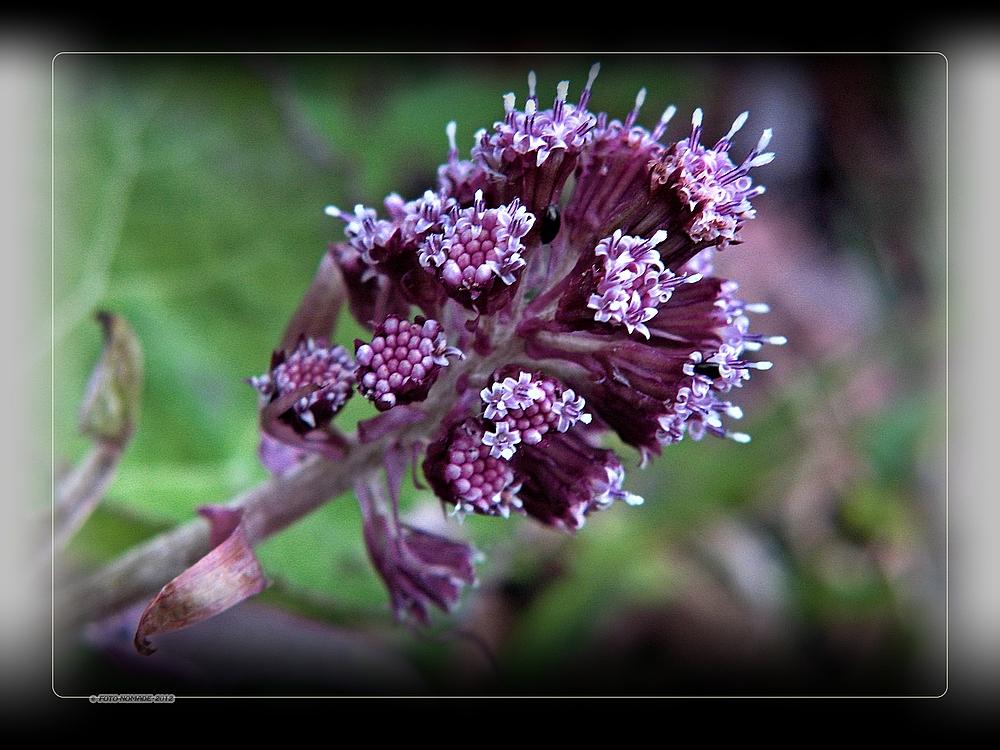 (Petasites hybridus, Syn. Petasites officinalis),