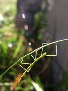 Petit acrobate vert