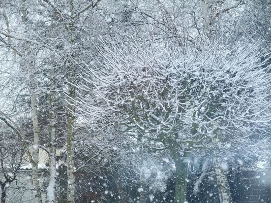 petit arbre blanc,en avril tu seras rose