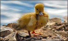 Petit canard au bord de mer