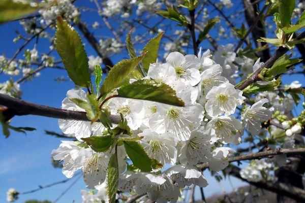 petit cerisier sauvage