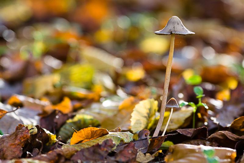 Petit champignon deviendra ...