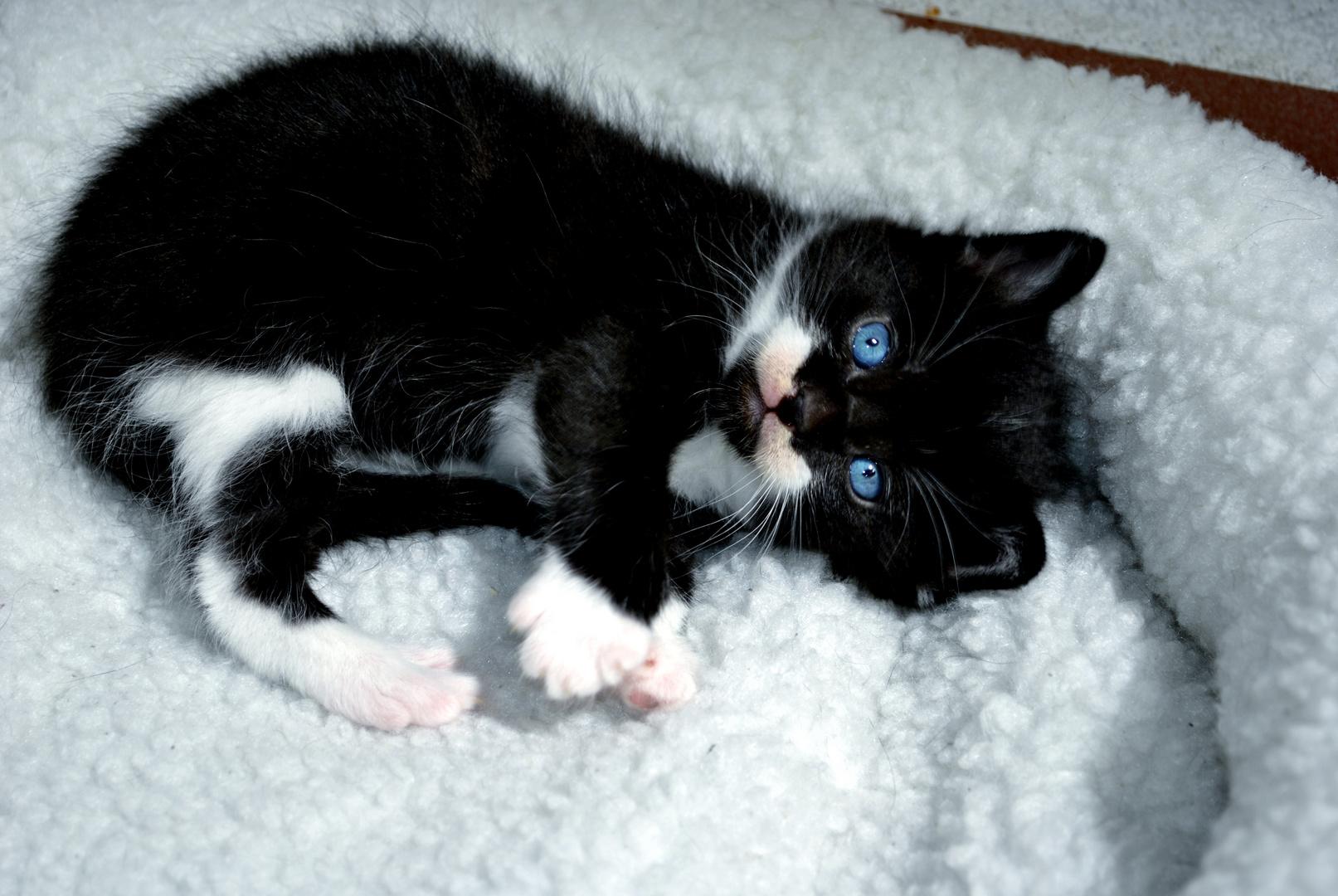 Petit chat de 1 2 mois photo et image animaux animaux - Image de petit chat ...