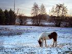 Petit cheval dans la neige