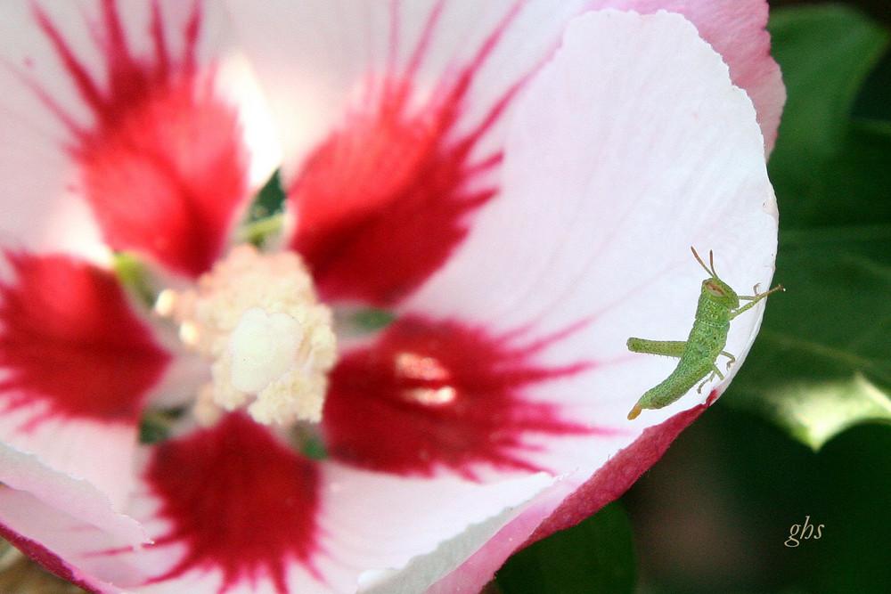 petit criquet dans fleur d'hibiscus