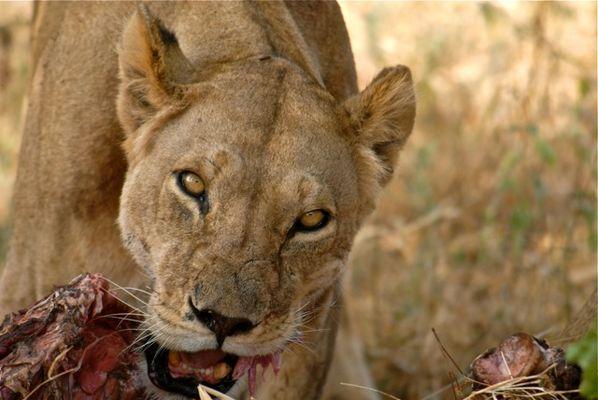 petit déjeuner de lionne