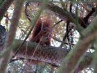 petit ecureuil roux