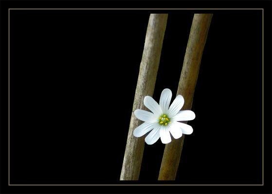 Petit Fleur I