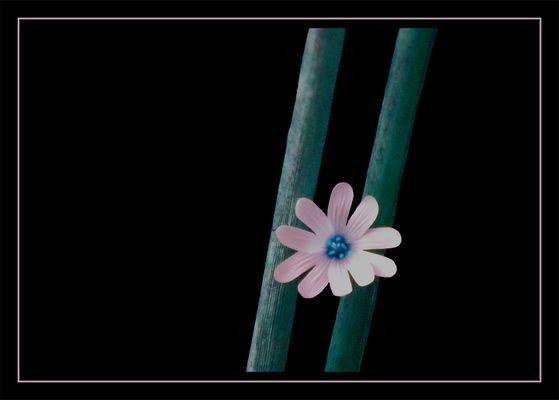 Petit Fleur III