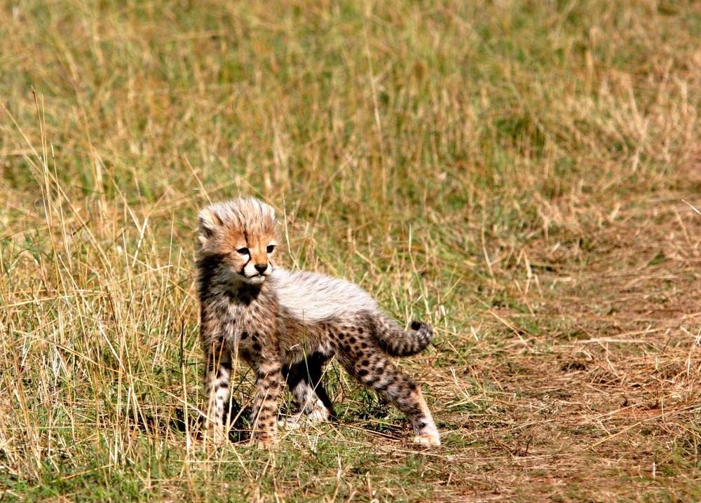 Petit guépard (Cheetah cub) - Masai Mara / Kenya - Quand je serais grand ...