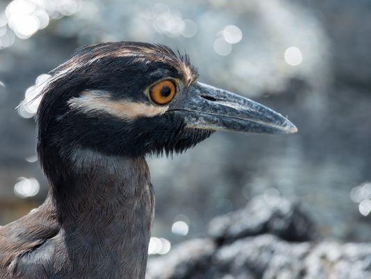 Petit héron des Galapagos