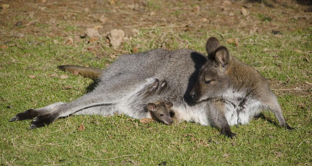 Petit moment de tendresse façon wallaby