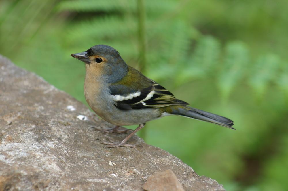 Petit oiseau de Madère