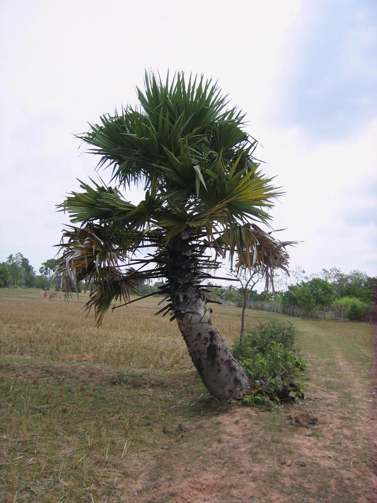 Petit Palmier