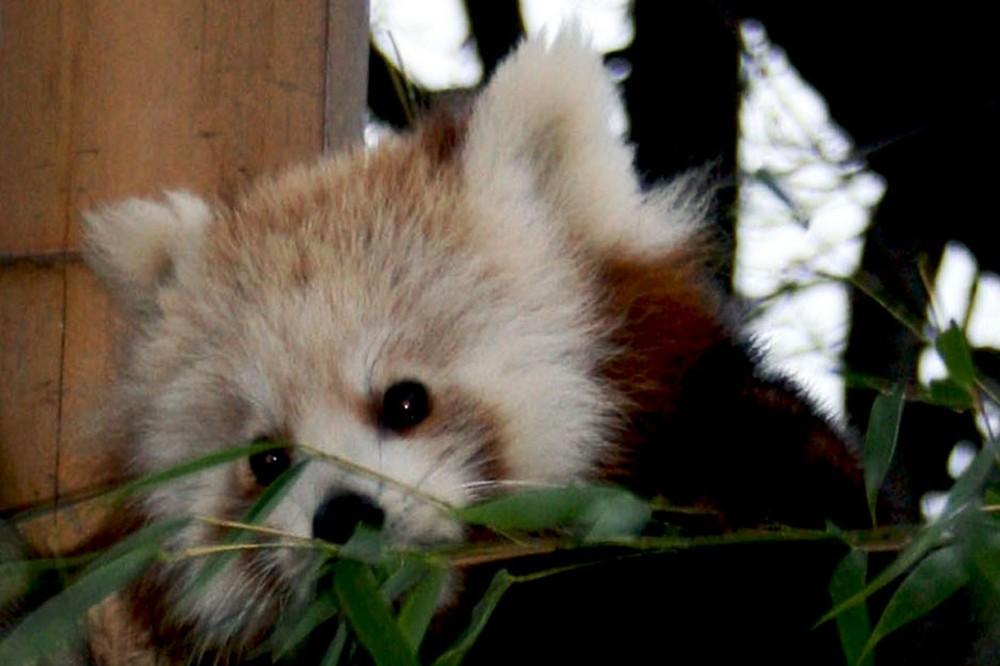 petit panda jardin des plantes