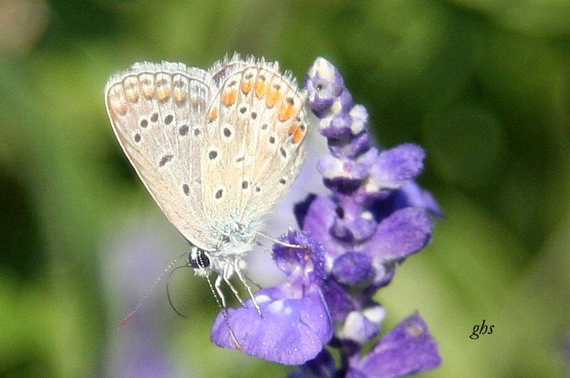 petit papillon 1