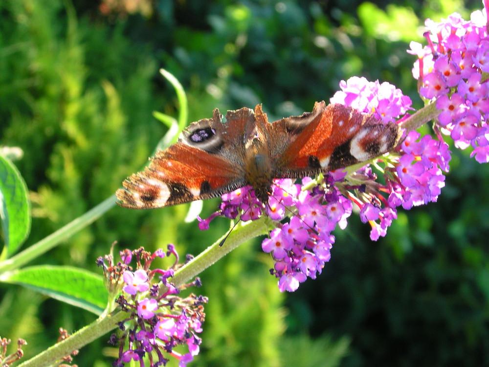 Petit papillon qui butine