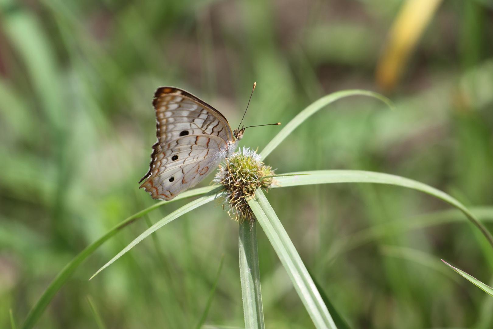 petit papillon2