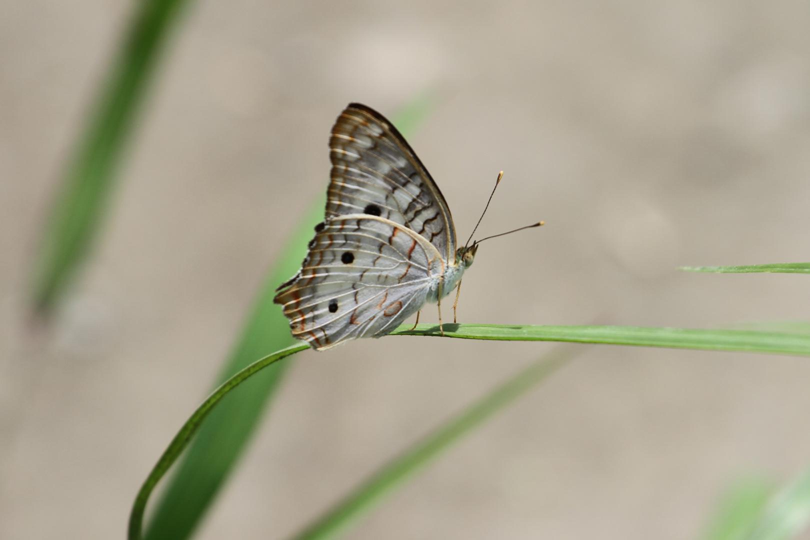 petit papillon3