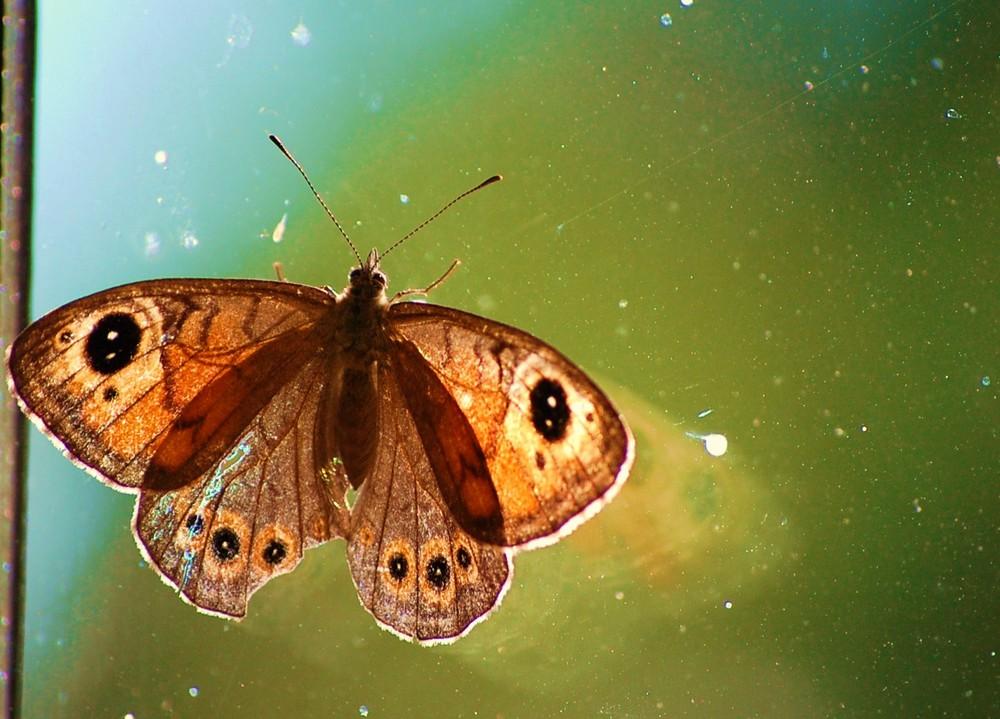 petit papillons