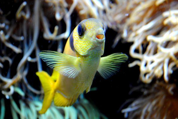 Petit poisson jaune