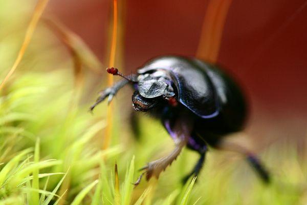 petit scarabé