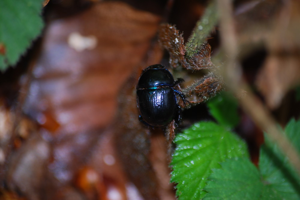 petit scarabée