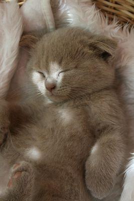 Petit Scottish fold endormi