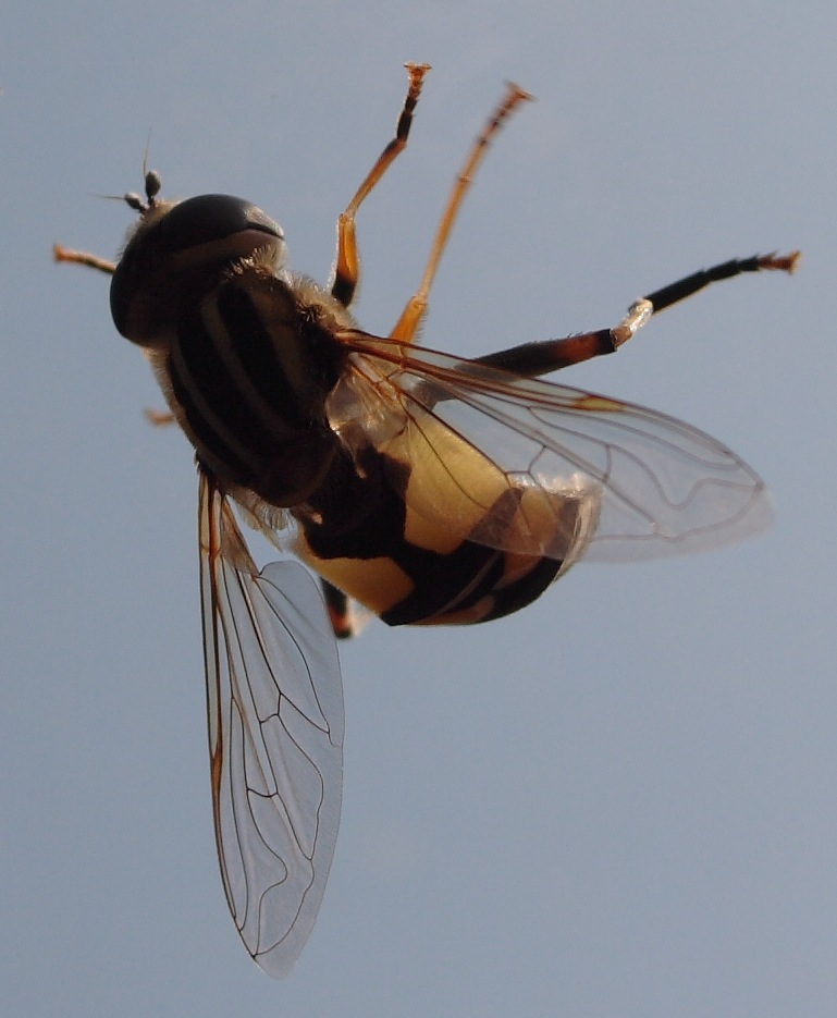 petite abeille..