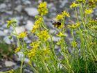 petite abeille en montagne