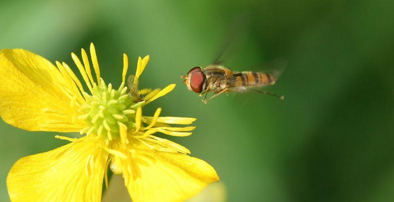 Petite abeille en vol stationnaire.