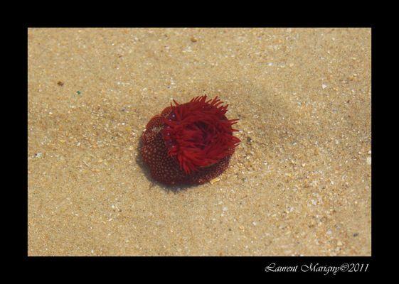 Petite anémone de mer.