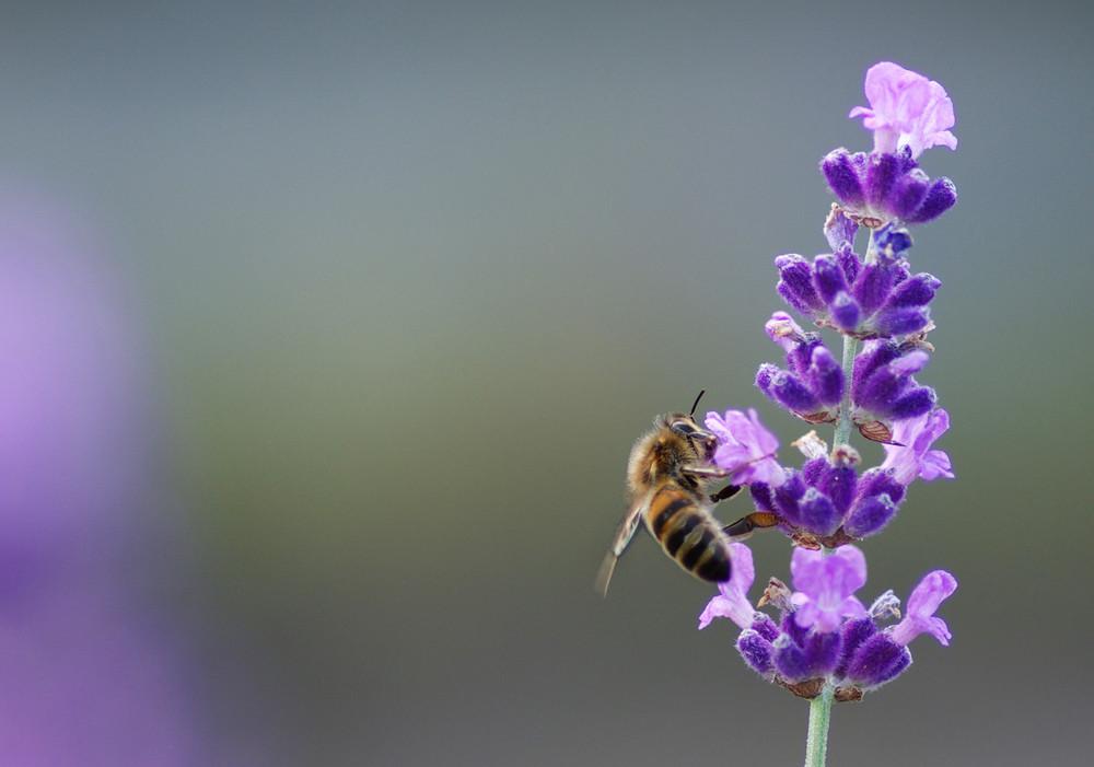 Petite Apis savourant son pollen
