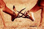 Petite bagarre de jeunes impalas