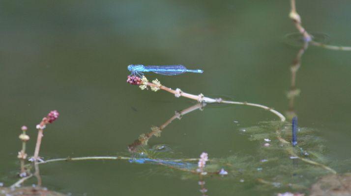petite bleue