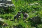 Petite discussion entre marmottes
