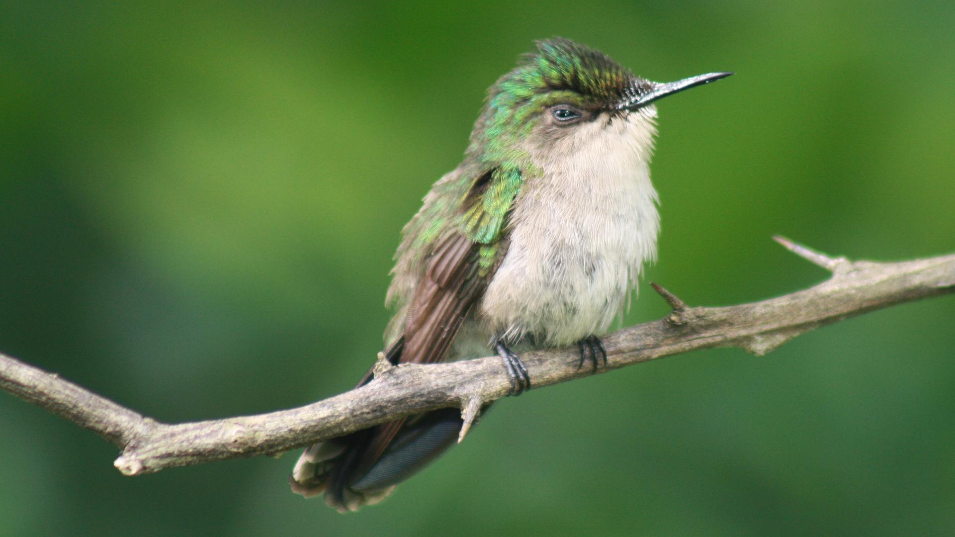 petite femelle colibri huppé