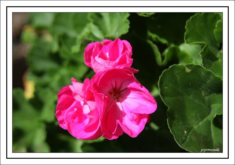 """ petite fleur de geranium """
