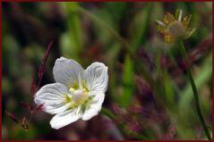 petite fleur des alpes....