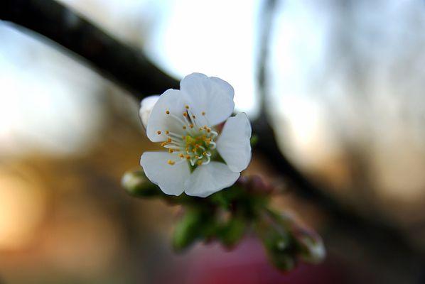 Petite fleur des arbres