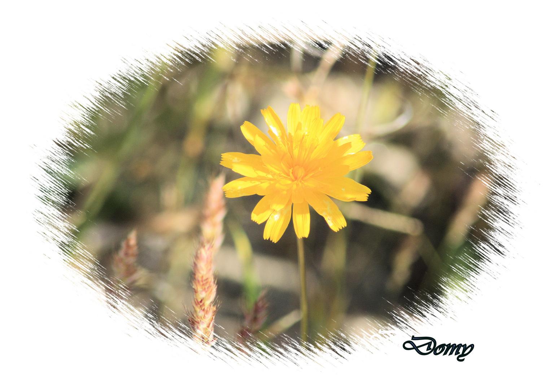 Petite fleur des champs ...