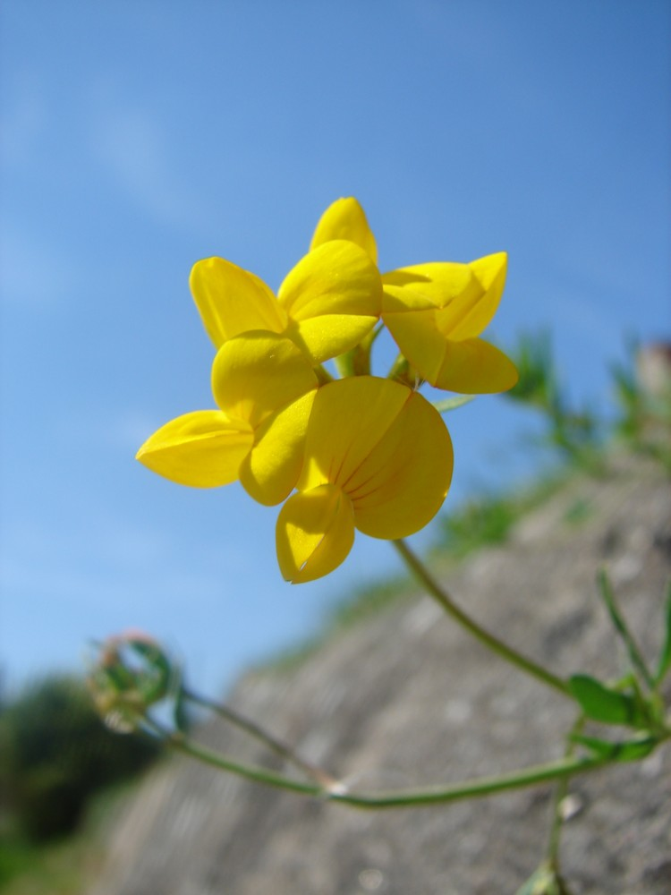 Petite fleur seule