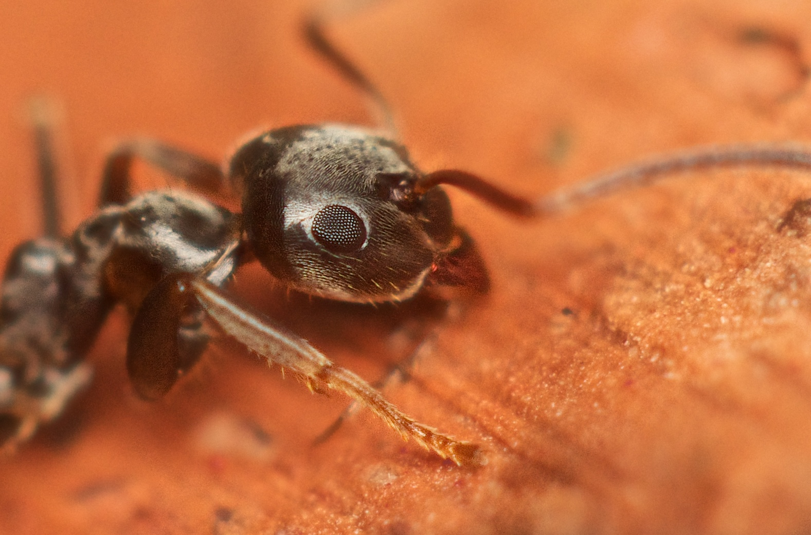 Petite fourmie