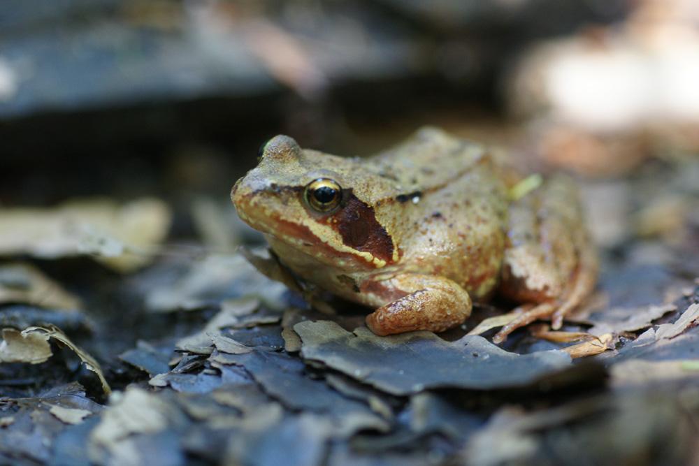 Petite grenouille...