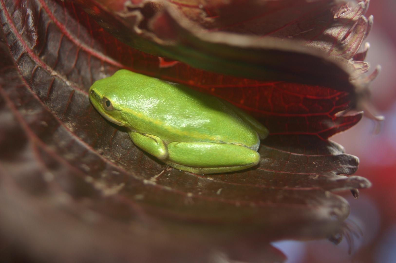 petite grenouille de madagascar