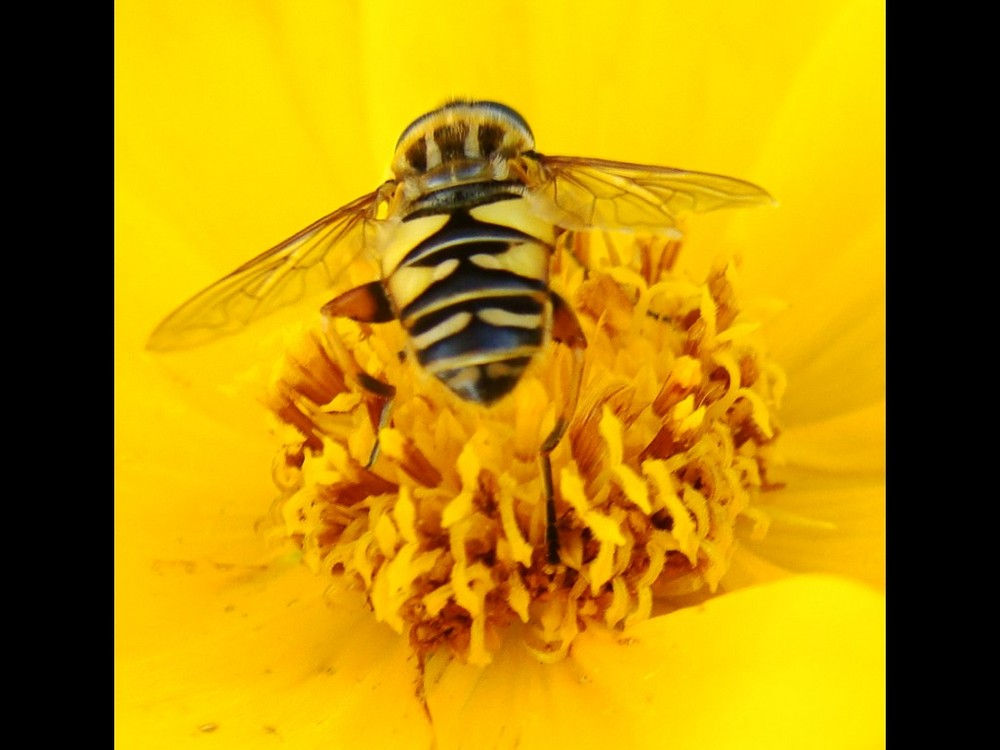 Petite mouche guepe coordonnée à sa fleur!