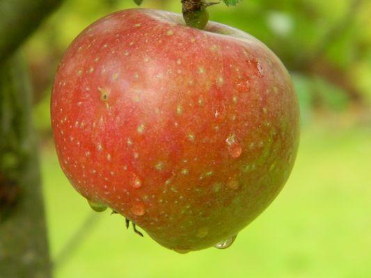Petite pomme qui pleure