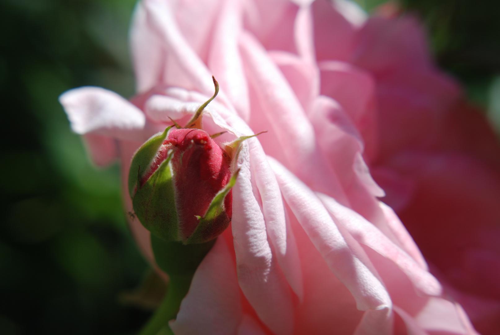 petite rose deviendra grande