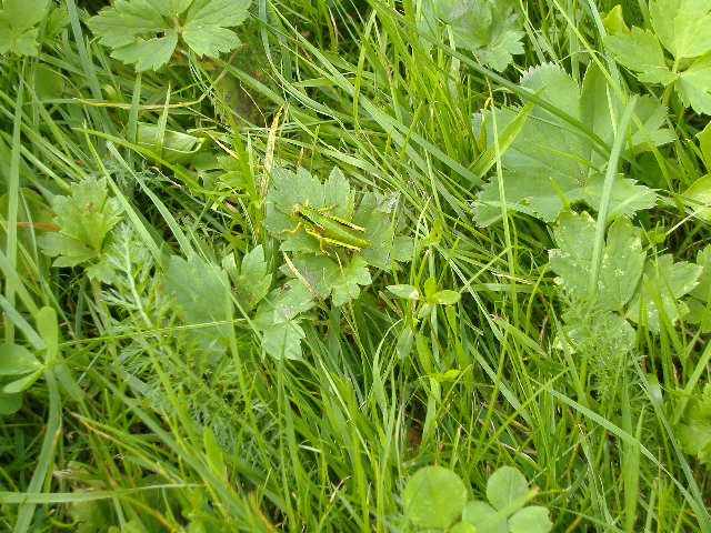 Petite sauterelle se confondant avec l'herbe